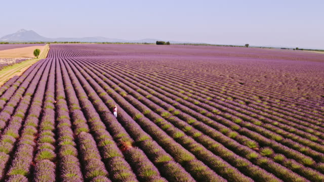 vidéos et rushes de aerial drone footage of woman in lavender field at sunset, provence, france - haut