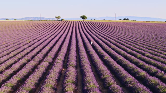 vidéos et rushes de aerial drone footage of woman in lavender field, provence, france - scène rurale