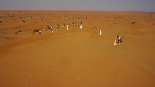 aerial drone of camels being led by handlers - stamm stock-videos und b-roll-filmmaterial