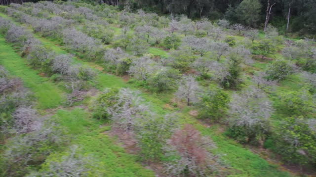 aerial drone over a citrus farm with trees that are diseased and dead in florida. - healthcare and medicine or illness or food and drink or fitness or exercise or wellbeing stock videos & royalty-free footage