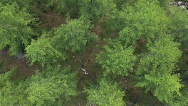 luftdrohne schoss über zwei wanderer im wald mit grünen bäumen - naturwald stock-videos und b-roll-filmmaterial