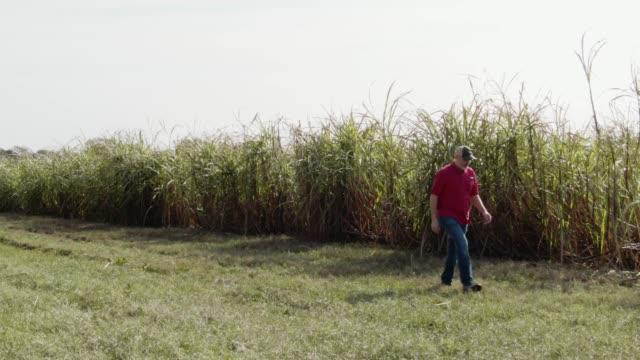 stockvideo's en b-roll-footage met luchtfoto drone schot van middelbare leeftijd mannelijke akkerbouwer op een zonnige dag een wandeling langs de rand van een veld suikerriet in zuidelijke louisiana - zuid