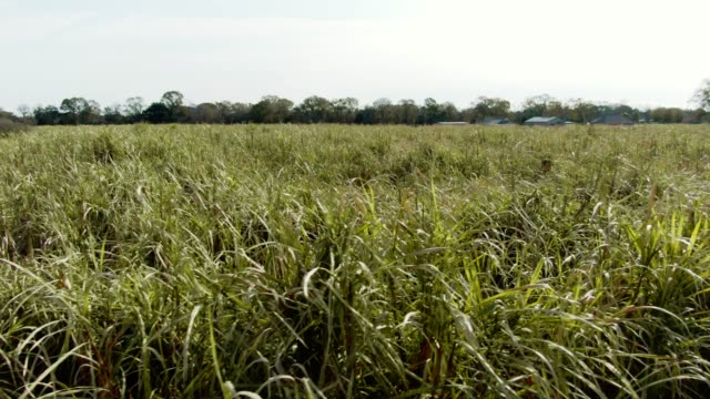 aerial drone shot of a sugar cane field in southern louisiana on a sunny day - sugar stock videos & royalty-free footage