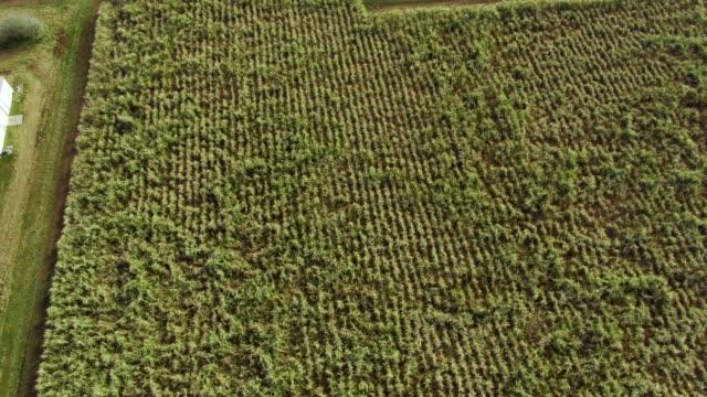 luftbild-drohne schuss von einem zuckerrohrfeld im südlichen louisiana an einem sonnigen tag - louisiana stock-videos und b-roll-filmmaterial