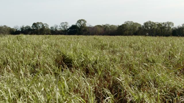 aerial drone shot of a sugar cane field in southern louisiana on a sunny day - sugar cane stock videos and b-roll footage