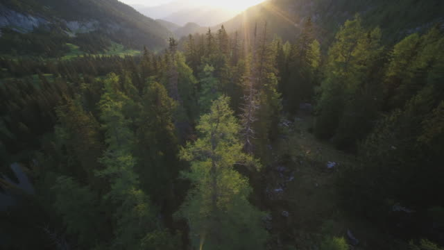aerial drone shot of conifer trees at sunset - coniferous stock videos & royalty-free footage