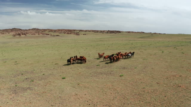 aerial drone video, flying over a herd of horses galloping in endless steppes in mongolia - 遊牧民族点の映像素材/bロール