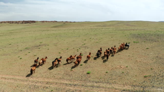 stockvideo's en b-roll-footage met aerial drone video, flying over a herd of horses galloping in endless steppes in mongolia - ranch