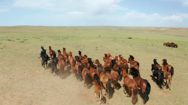 aerial drone video, flying over a herd of horses galloping in endless steppes in mongolia - mongolei stock-videos und b-roll-filmmaterial