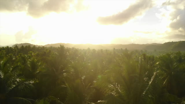 vídeos de stock e filmes b-roll de aerial drone view of a forest of palm trees at sunset. - slow motion - palmeira