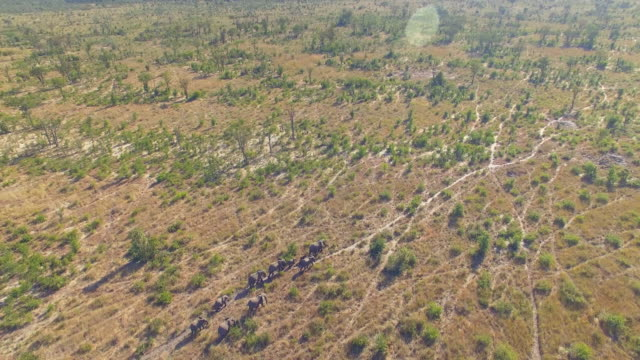 aerial drone view of a herd of elephants wild animals in a safari in africa plains. - plain stock videos & royalty-free footage