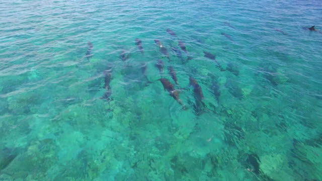 aerial drone view of a pod of dolphins swimming over a coral reef in the maldives. - tiergruppe stock-videos und b-roll-filmmaterial