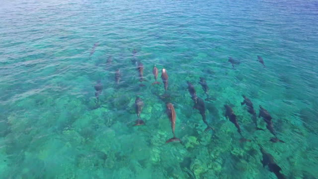 Aerial drone view of a pod of dolphins swimming over a coral reef in the Maldives.