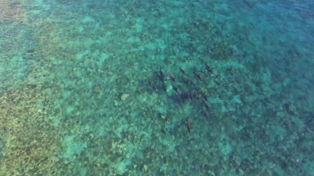 vidéos et rushes de aerial drone view of a pod of dolphins swimming over a coral reef in the maldives. - groupe de mammifères marins