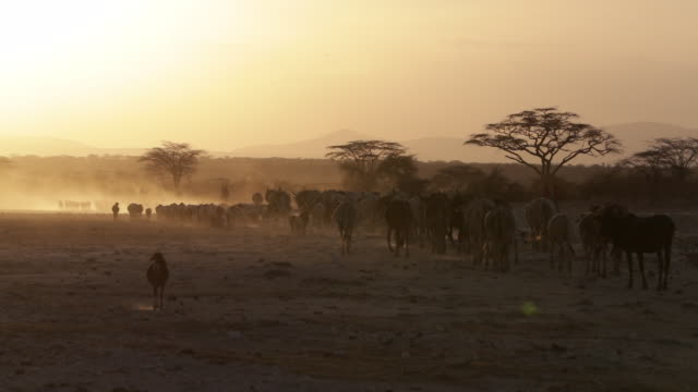 aerial drone view of african wildlife at sunset - kenya stock videos & royalty-free footage