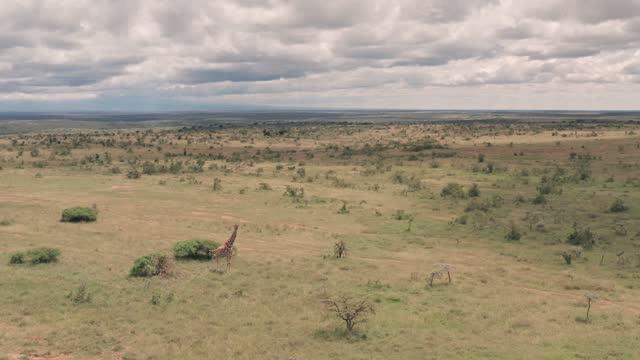 vídeos de stock e filmes b-roll de aerial drone view of giraffe in african savanna and plains landscape in laikipia, kenya - pradaria