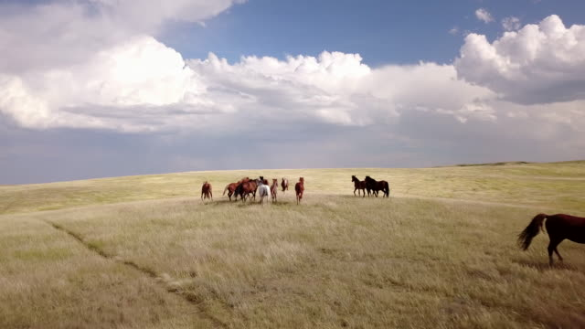 aerial drone view of horses grazing in field - alberta stock videos & royalty-free footage
