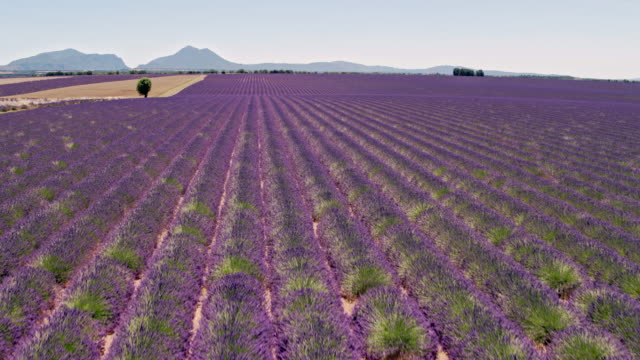 aerial drone view of lavender fields in summer, provence, france - 植物 ラベンダー点の映像素材/bロール