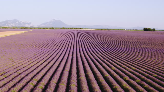 vídeos de stock e filmes b-roll de aerial drone view of lavender fields in summer, provence, france - 30 segundos ou mais