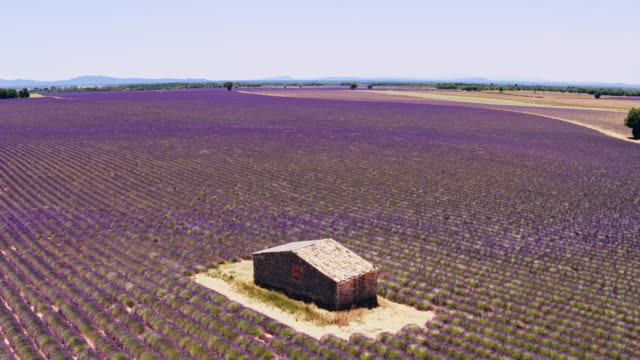 aerial drone view of lavender fields in summer, provence, france - lavender stock videos & royalty-free footage