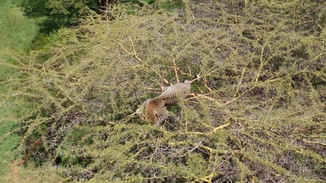 vídeos y material grabado en eventos de stock de aerial drone view of leopard on top of tree - protección de fauna salvaje