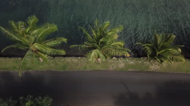 vidéos et rushes de aerial drone view of road by the sea with palm trees with a woman on a bike - île d'huahine