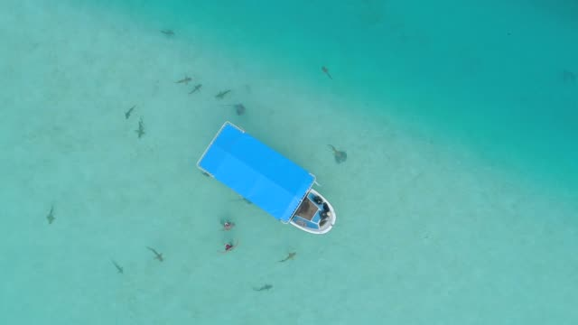 vidéos et rushes de aerial drone view of snorkeling in moorea tropical island. - requin