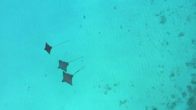 luftdrohnenansicht von stringrays im seichten wasser auf den malediven - stechrochen stock-videos und b-roll-filmmaterial