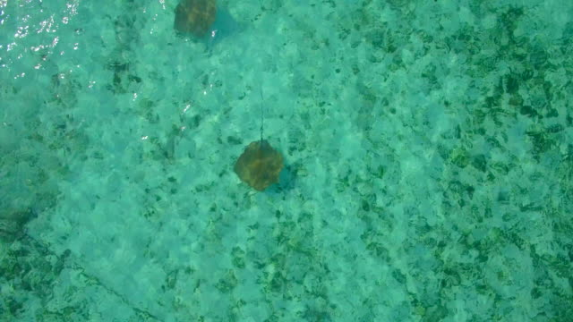 vidéos et rushes de aerial drone view of stringrays in shallow water in the maldives. - himantura poisson