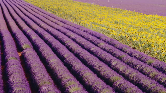 aerial drone view of sunflowers and lavender in summer, provence, france - region provence alpes côte d'azur stock-videos und b-roll-filmmaterial