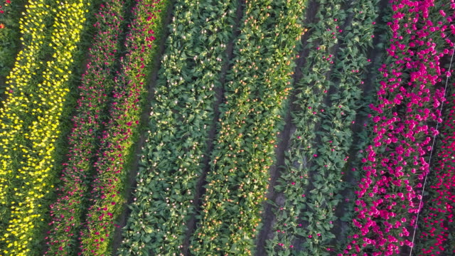 aerial drone view of tulip flowers fields growing in rows of crops. - farm bildbanksvideor och videomaterial från bakom kulisserna