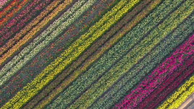aerial drone view of tulip flowers fields growing in rows of crops. - schrägansicht stock-videos und b-roll-filmmaterial