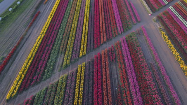 aerial drone view of tulip flowers fields growing in rows of crops. - tulpe stock-videos und b-roll-filmmaterial