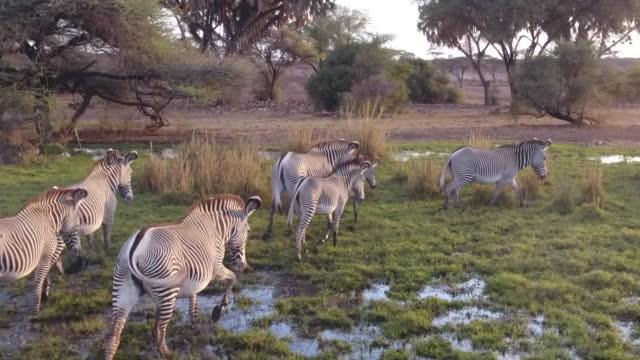 luftbild-drohne blick auf zebras - kenia stock-videos und b-roll-filmmaterial