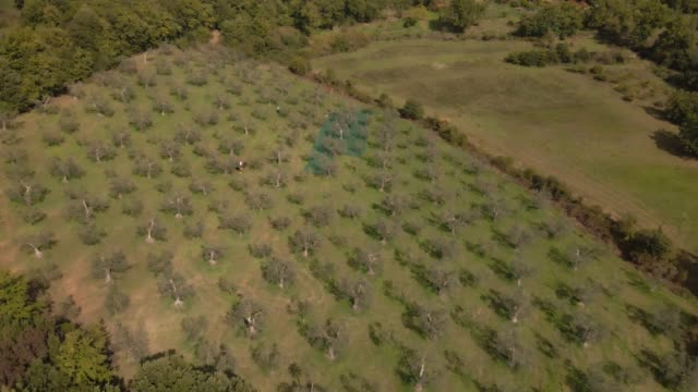 aerial drone views of olives being harvested at podere la ribolla on november 3 2020 in montemassi grosseto italy an optimal climate fertile land and... - tuscany stock videos & royalty-free footage