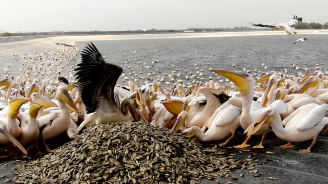 vídeos de stock e filmes b-roll de aerial eye level / flock of white pelicans feeding on huge pile of fish - pelicano