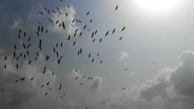 aerial eye level /silhouettes of great white pelicans flying migrating and circling in thermal - stormo di uccelli video stock e b–roll