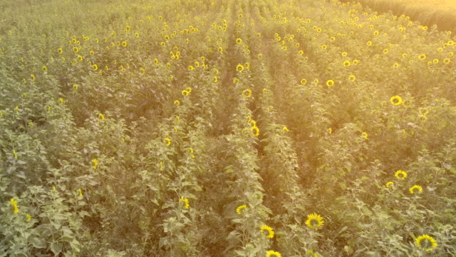 Aerial Field of sunflowers