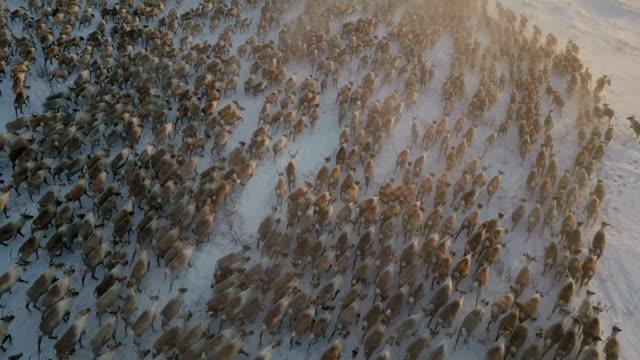 Aerial Fix cam,largest reindeer herd moving, Canada,northwest territories, sunset