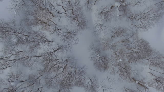 Aerial: Flight above winter forest. Pines covered with snow.