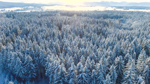Aerial flight over forest covered in snow in winter