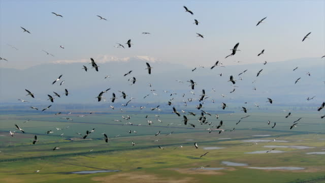 vidéos et rushes de aerial / flock of white storks in migration above green valley/ hula valley - large group of animals