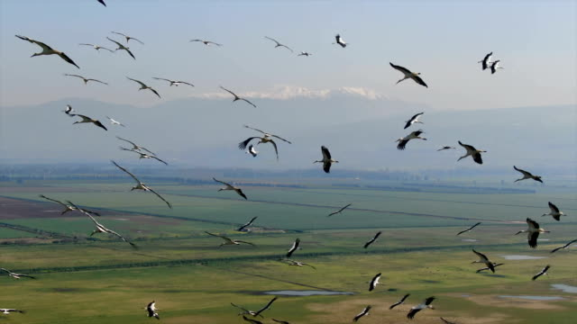 vidéos et rushes de aerial/ flock of white storks in migration above  hula valley - large group of animals