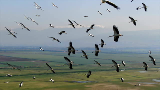 aerial/ flock of white storks in migration above  hula valley - formation flying stock videos & royalty-free footage