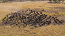 Aerial fly over view of tourists in a 4x4 off-road safari vehicle watching a large herd of Cape buffalo grazing in the Okavango Delta, Botswana
