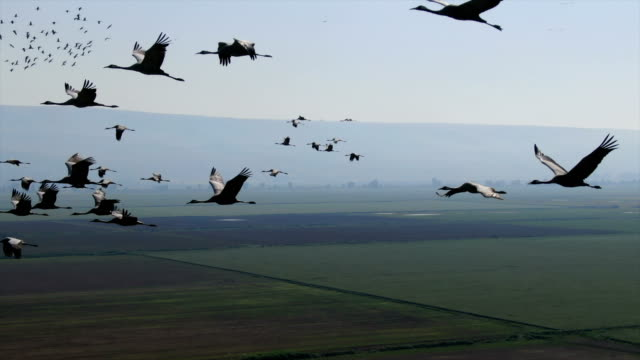 aerial / flying along migrating cranes, hula valley - vogelschwarm stock-videos und b-roll-filmmaterial