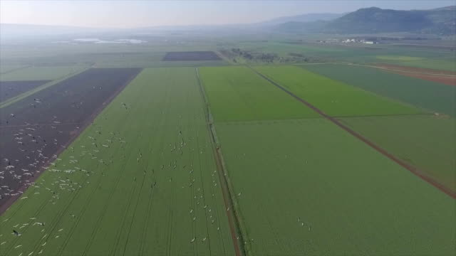 aerial/ flying alongside with common cranes  in the hula valley/ slow motion - 40 sekunden oder länger stock-videos und b-roll-filmmaterial