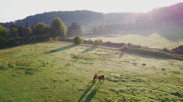 vidéos et rushes de aerial flying down over field with horses in france, morning - normandie