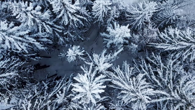 Aerial flying over while looking  down on snow covered pine trees