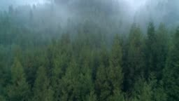 Aerial Foggy pine tree woods in the morning, 4k